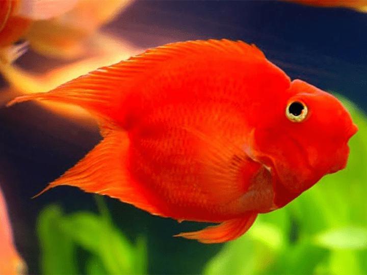 ปลาหมอนกแก้วเลิฟ