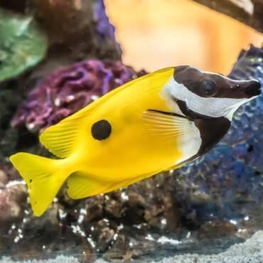 10.ปลาสลิดหินทะเลเหลืองปากยาว