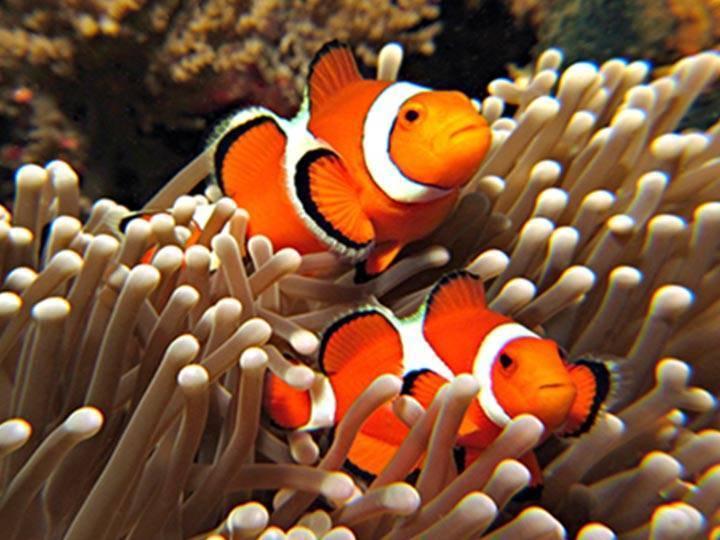 11.ปลาการ์ตูนส้มขาว