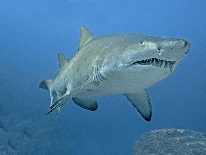 47.ปลาฉลามเสือทราย