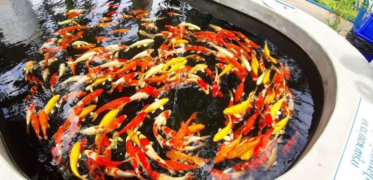 กิจกรรมให้อาหารปลาคาร์ฟ